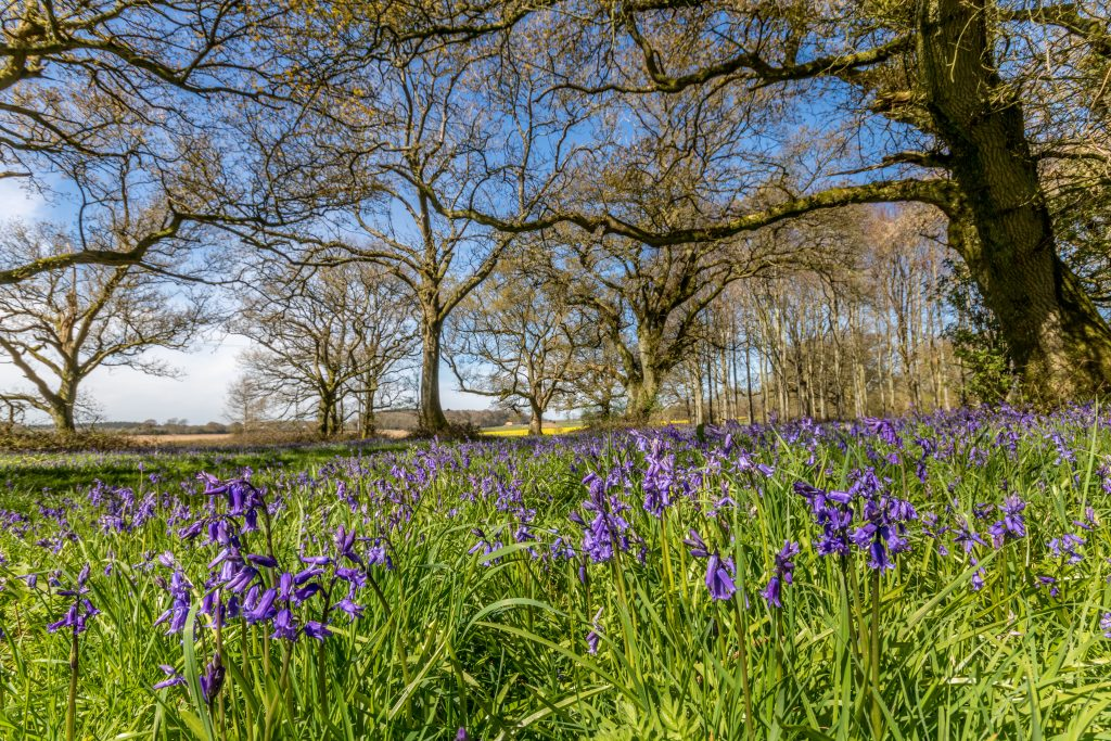 Bluebells in the woodland at Cranborne Chase, Dorset