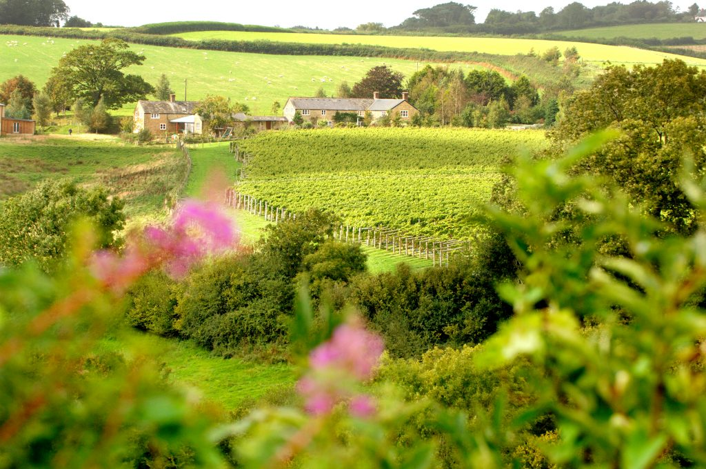 vineyard near Bridport