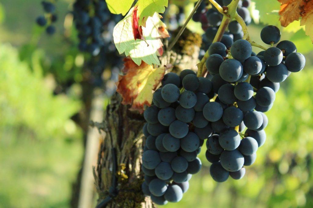 Dorset vineyards