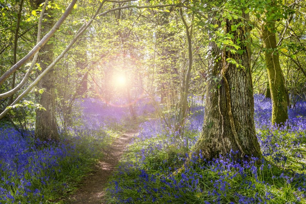 Bluebell Woods Dorset