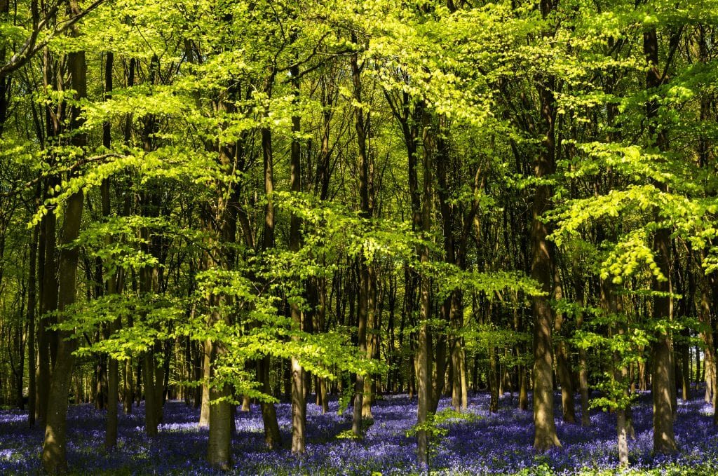 Bluebell woods at Pamphill in Dorset
