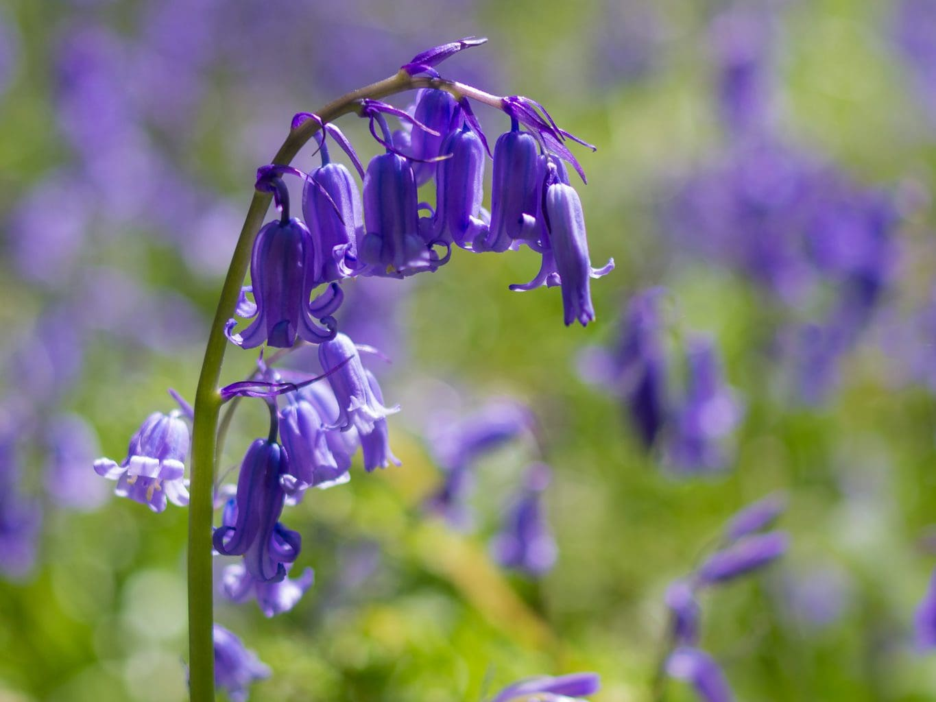 Closeup of a bluebell flower in spring