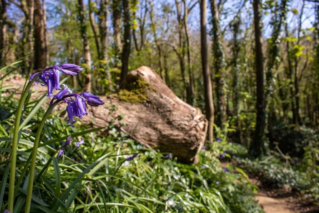 Holway Bluebell Woods near Sherborne Dorset